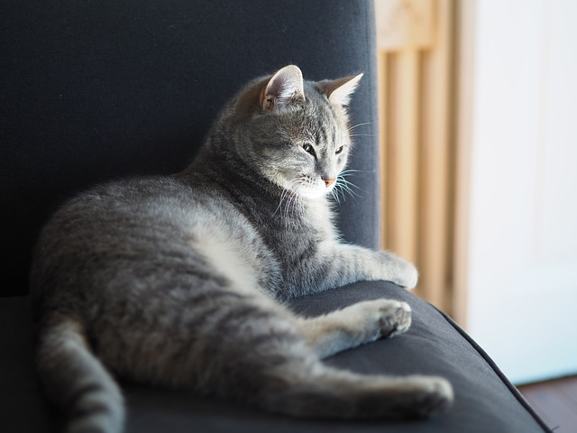 Indoor Cat Grey Cat Cat Lying